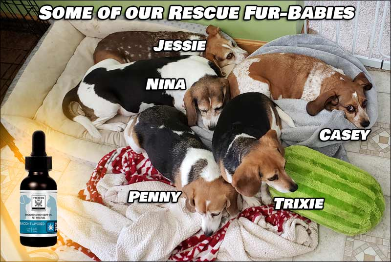In this picture, which is actually a few years old already, we have some of our Beagle rescue fur-babies; Jessie, Nina, Penny, Trixie and Casey.
